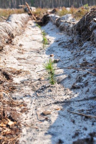 Более 100 тыс сеянцев ели посадили в Псковской области в рамках акции «Живи, лес!», фото-1